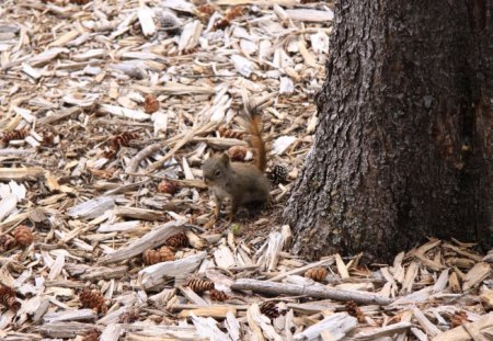 squirrel at the forest Banff Alberta - squirrel, brown, photography, pine, tree