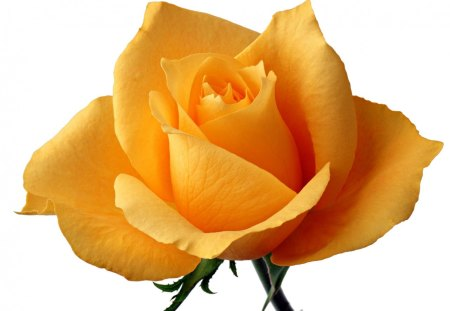 Yellow rose means faith flowers nature background wallpapers on yellow rose means faith mightylinksfo