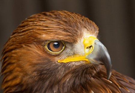 Eagle - feathers, eagle, bird, beak