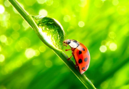 Ladybug - waterdrop, pretty, wonderful, stunning, marvellous, grass, grass stalk, beautiful, adorable, picture, animal, nice, outstanding, wallpaper, animals, super, amazing, fantastic, bug, culm, ladybug, skyphoenixx1, insect, awesome, garden, nature, great