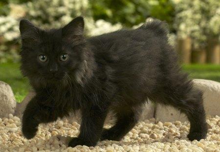 Black Norwegian Forest Cat Cats Amp Animals Background