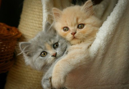 Two fluffy friends in towel - playing, look, blue eyed, fluffy, kittens, adorable, towel, sweet, cute, buddies, paws, two, kitties, room, cats, friends