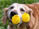 Smile with tulips♥