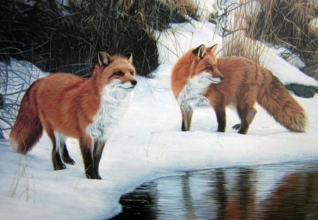 foxes in snow - foxes, river, winter, animal