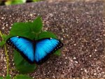 Marvelous Morpho