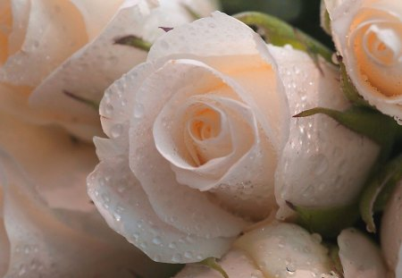 Hint of peach - beauty, flowers, peach, roses, dew