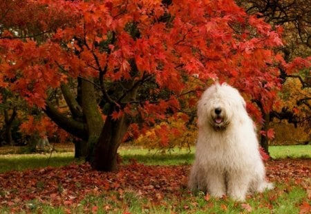 Sheepdog Posing by Fall Tree - red, fall, autumn, orange, hairy, cute, leaves, sheepdog, eyes