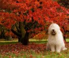 Sheepdog Posing by Fall Tree