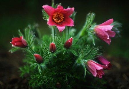 Sasanki - flowers, pulsatilla, photography, macro