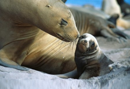 Baby Sealion - sealion, baby, together, mom