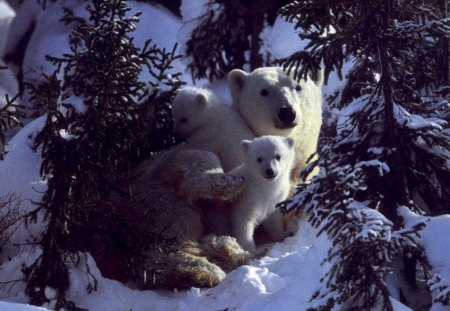 Polar bear mom and cubs - arctic, mom, cub, bear, polar, animal, ursus