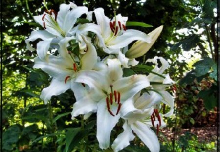 garden lilies - flowers, innocent, lilies, white, plants, green, summer, garden