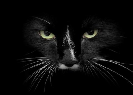 Serious Cat Face - Cats & Animals Background Wallpapers on ...