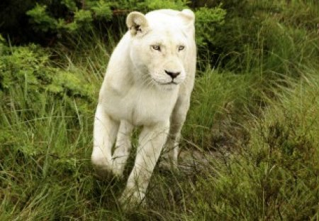White Lion - cute, white lion, cat, lion, animal