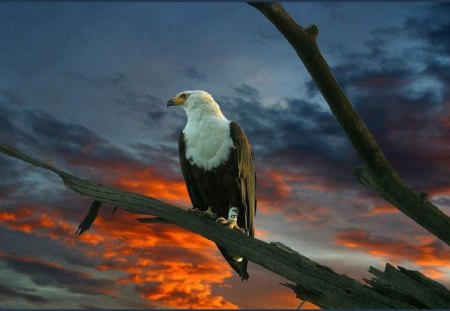 Eagle - usa, animals, birds, eagle