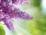 Just Lilacs