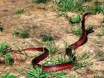 RED SPITTING COBRA