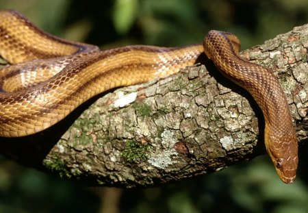 YELLOW RAT SNAKE - snakes, trees, reptiles, rat snakes, serpents