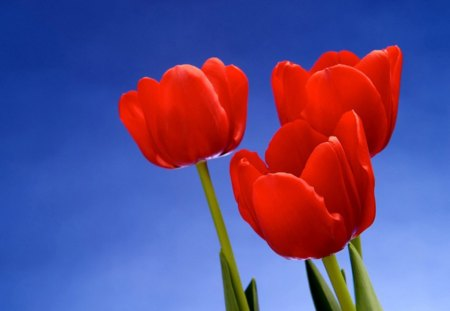 Ruby trio - flowers, blue, green stems, tulips, sky, red