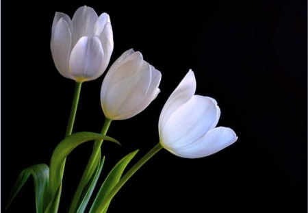 Purity - flowers, three, white, tulips, green, black