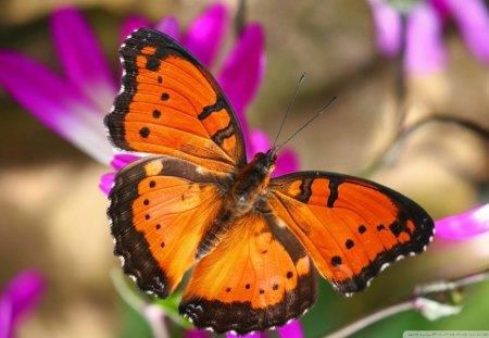Black Orange Butterfly Bugs Nature Background Wallpapers On Desktop Nexus Image 1123046