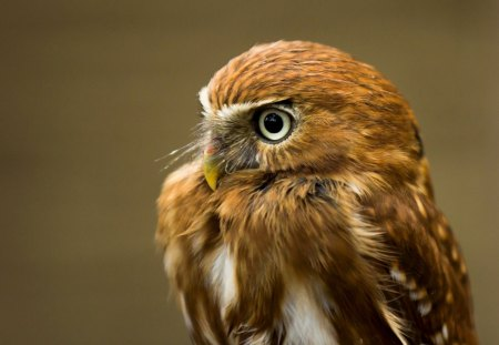 Owl - brown, eyes, feathers, owl