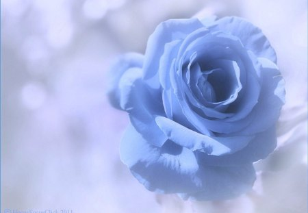 Blue softness for Carol - blue, rose, soft, petals, flower