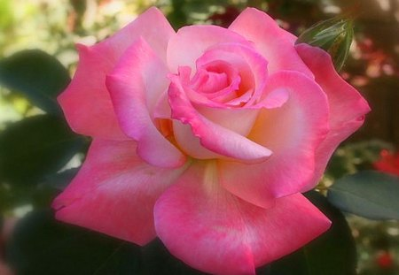 A pink beauty for Lisa - white, rose, pink, green, flower