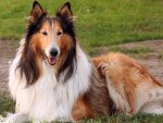 Collie dog resting