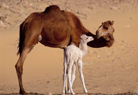 TIME WITH MUM - motherhood, deserts, mums and kids, children, babies, camels, kids