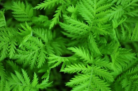 MACRO FERN - leaves, ferns, green, plants, summer, seasons