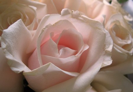 A hint of pink for wallpapercreator - beauty, white, rose, pink, flower