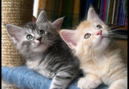 Two Cute Kittens - kittens, cats, animals, sute