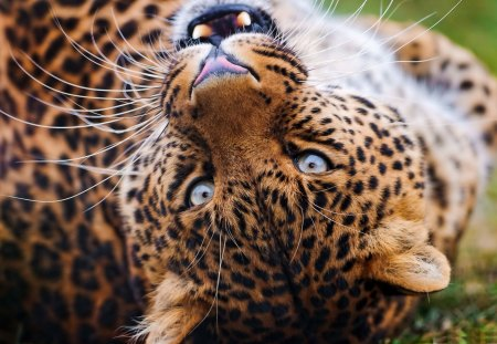 Amur Leopard - beautiful, leopard, amur, looking, cat, cats