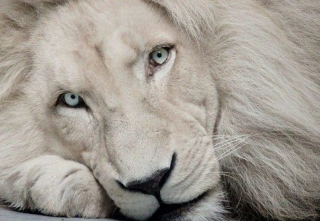 Beautiful White Lion - animal, lion, white, cat, animals, cats, close up