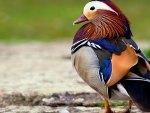Mandarin Drake