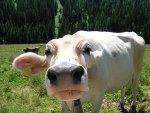 Vacca annusatrice