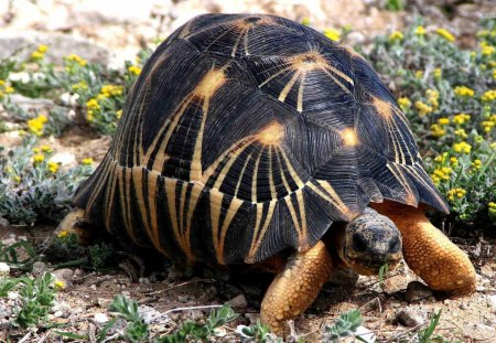 Tortoise - turtle, wildlife, animals, nature