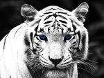 Blue Eyed Tiger
