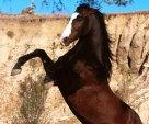 Mustang Stallion Rearing