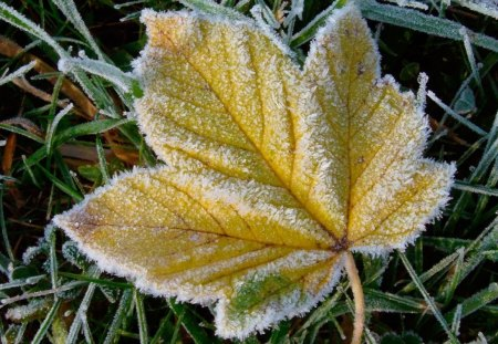 FROSTED LEAF - grass, snow, ice, leaves, frost, winter