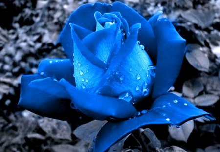 Rose blue - beauty, blue, rose, flower, grey