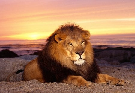 majestic lion - animal, beautiful, sunset, lion, cat
