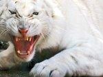 White Tiger Growling