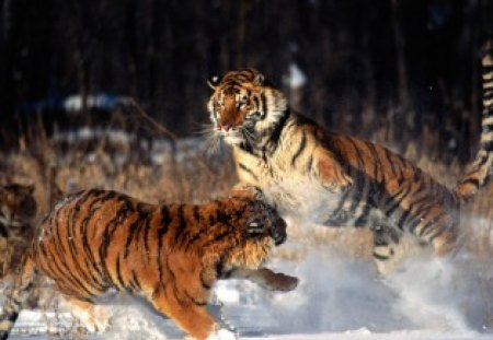 Feelin Frisky - fight, tiger, snow, play