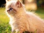 Sweet White Persian Kitten