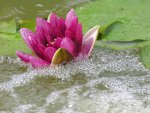 A pretty water lily
