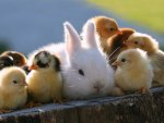 Chicks and a Bunny
