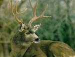 Mule Deer Lying Down