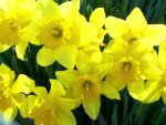 Flower of March - Daffodil
